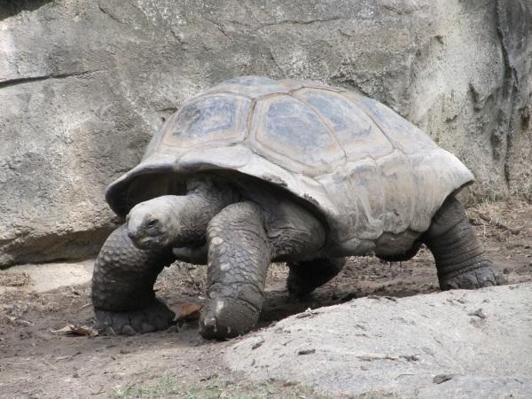 giant-tortoise-reptile-shell-walking-162307
